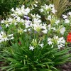Agapanthus 'Pitchoune White' (African lily 'Pitchoune White')