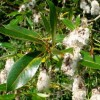 Salix pentandra (Bay willow)