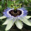 Passiflora caerulea 'Clear Sky' (Passion flower 'Clear Sky')