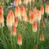 Kniphofia 'Hot and Cold' (Pyromania Serie) (Red hot poker 'Hot and Cold')