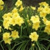 Hemerocallis 'Yellow Explosion' (Daylily 'Yellow Explosion')