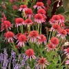 Echinacea 'Guava Ice' (Cone-fections Series) (Coneflower 'Guava Ice')