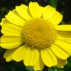 Helenium 'Sahin's Early Flowerer' (Sneezeweed 'Sahin's Early Flowerer')