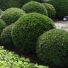 Taxus baccata (any shaped or topiary form)