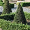 Taxus baccata (any shaped or topiary form) (Common yew (any shaped or topiary form))