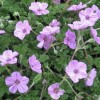Erodium 'Maryla' (Storksbill 'Maryla')