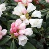 Rhododendron 'Silbervelours' (Rhododendron 'Silbervelours')