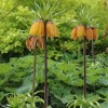 Fritillaria imperialis 'Striped Beauty' (Crown imperial 'Striped Beauty')