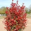 Photinia x fraseri 'Carre Rouge' (Christmas berry 'Carre Rouge')