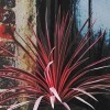 Cordyline australis 'Pink Star' (Cabbage tree 'Pink Star')