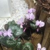 Cyclamen coum (Eastern cyclamen)