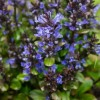 Ajuga reptans 'Blueberry Muffin' (Bugleweed 'Blueberry Muffin')