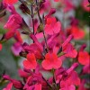 Salvia microphylla 'Wine and Roses'