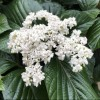 Viburnum 'Shiny Dancer'
