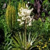 Yucca filamentosa 'Gold Heart' (Variegated needle palm 'Gold Heart')