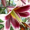 Lilium 'Miss Lily' (Lily 'Miss Lily')