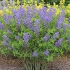 Baptisia 'Blueberry Sundae' (Decadense Series) (False indigo 'Blueberry Sundae')