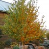 Betula papyrifera 'Renaissance Reflection'