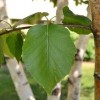 Betula papyrifera 'Renaissance Reflection' (Paper birch 'Renaissance Reflection')