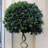 Laurus nobilis (and shaped or topiary form) (Bay tree (and shaped or topiary form))