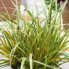 Carex morrowii 'Everglow' (EverColor Series) (Japanese sedge 'Everglow')
