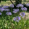 Agapanthus caulescens subsp. angustifolius (Narrow-leaved African lily)