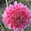 Scabiosa atropurpurea Summer Sundae Mix (Pincushion flower Summer Sundae Mix)
