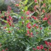 Scrophularia macrantha (Red birds in a tree)
