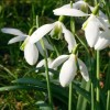 Galanthus 'Curly' (Snowdrop 'Curly')
