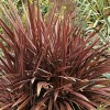 Phormium 'Special Red' (Flax lily 'Special Red')