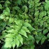 Cyrtomium fortunei (Hardy Japanese holly fern)
