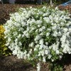 Exochorda x macrantha 'The Bride' (Pearlbush 'The Bride')