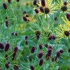 Sanguisorba officinalis (Great burnet)