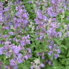Nepeta racemosa 'Walker's Low' (Dwarf catmint 'Walker's Low')