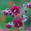 Aquilegia vulgaris var. stellata 'Ruby Port' (Columbine 'Ruby Port')