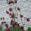 Aquilegia 'Ruby Port' (Columbine 'Ruby Port')