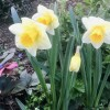 Narcissus 'Ice Follies' (Daffodil 'Ice Follies')