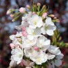 Prunus 'Amanogawa' (Japanese flowering cherry 'Amanogawa')