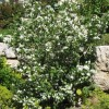 Philadelphus 'Virginal' (Mock orange 'Virginal')