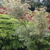 Acer palmatum 'Butterfly' (Japanese maple 'Butterfly')