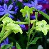 Nicotiana 'Lime Green' (Tobacco plant 'Lime Green')