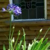 Agapanthus 'Blue Giant' (African lily 'Blue Giant')
