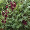Alcea rosea 'Chater's Double Maroon' (Hollyhock 'Chater's Double Maroon')