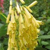 Phygelius aequalis 'Yellow Trumpet' (Cape figwort 'Yellow Trumpet')