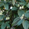 Clematis anshunensis 'Winter Beauty' (Evergreen clematis 'Winter Beauty')