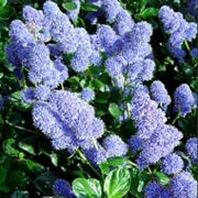 'Yankee Point' is a vigorous, spreading evergreen shrub covered in a mass of blue flowers from late spring through early summer. Ceanothus griseus 'Yankee Point' added by Shoot)