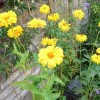 Heliopsis helianthoides var. scabra 'Benzinggold' (North American ox-eye 'Benzinggold')