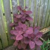Cotinus 'Grace' (Smoke bush 'Grace')