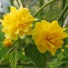Kerria japonica 'Pleniflora' (Double-flowering Japanese kerria)