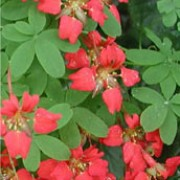 Tropaeolum speciosum added by Shoot)